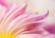 Close-up abstract of pink peony petals flowing to right from glowing yellow center