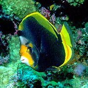 Black Butterflyfish inhabit reefs. Picture taken Maldives.