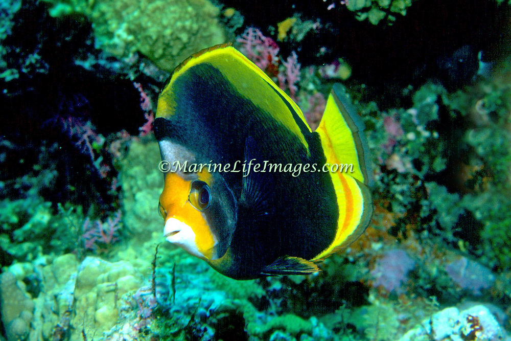 Black Butterflyfish inhabit reefs. Picture taken Maldives.