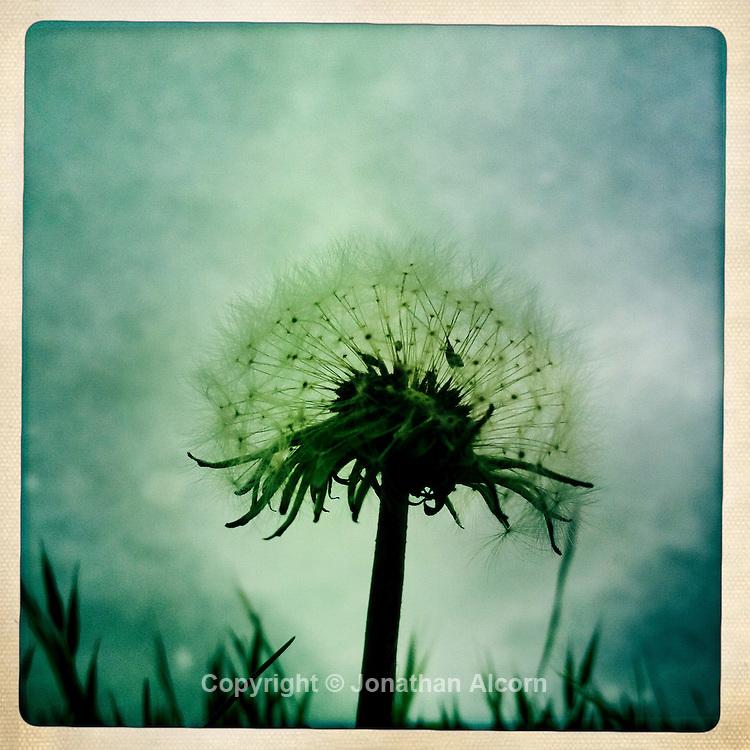 Closeup of a Dandelion at  Kenneth Hahn Park.