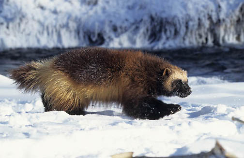Wolverine, (Gulo gulo) Adult. Rocky mountains. Montana. Winter. Captive Animal.