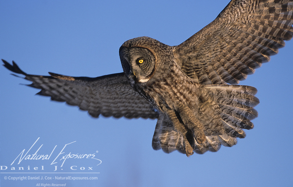 Great Gray Owl (Strix nebulosa) adult in flight hunting for prey. Canada