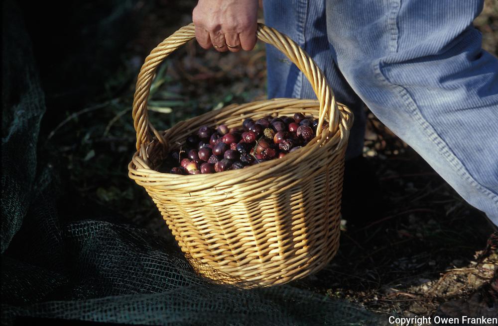 basket of picked olives during harvest - Provence, Franken - photograph by Owen Franken
