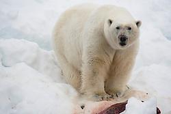 A male polar bear (Ursus maritimus) in the snow on a kill, Svalbard, Norway