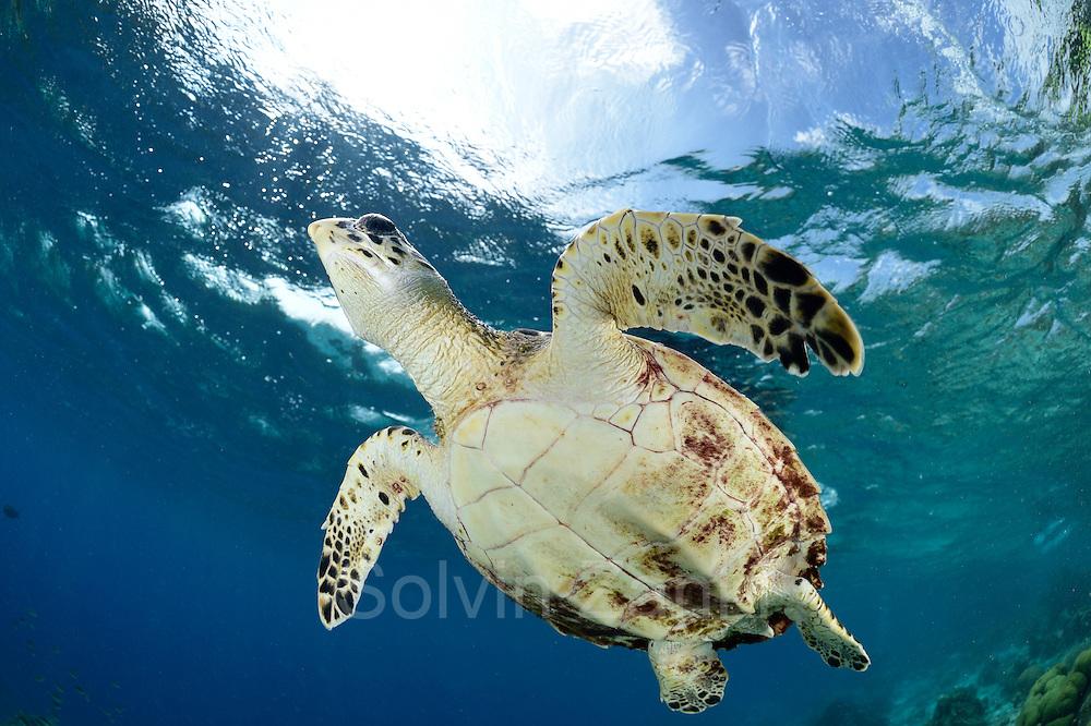 Hawksbill sea turtle (Eretmochelys imbricata) | Die Karettschildkröte (Eretmochelys imbricata) ist in den Korallenriffen der Karibik zu Hause. Dort lebt sie von Schwämmen und Anemonen, die sie in den Riffen um Bonaire reichlich findet. Atlantic, Bonaire, Leeward Antilles, Caribbean region, Netherlands Antilles