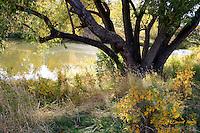 Old willow tree near bank of Wascana Creek, near Rotary Park, Regina