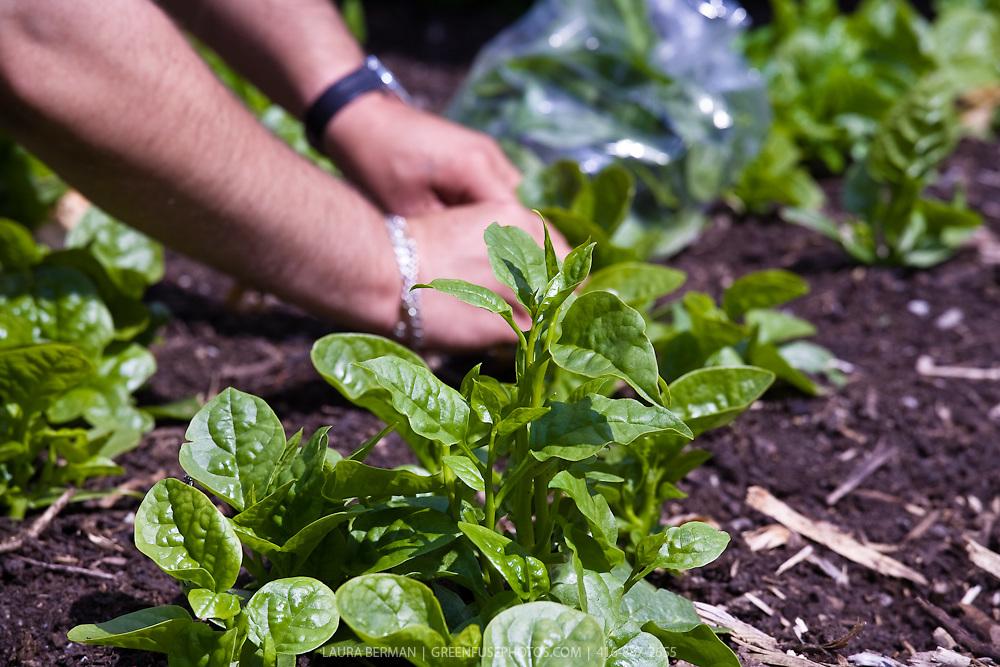A gardener's hands working among mlabar spinach plants ( Basella cordifolia)