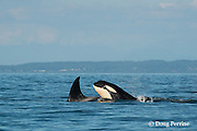 transient orcas or killer whales, Orcinus orca, surfacing in Georgia Strait, north of San Juan Islands, Washington, United States, near Vancouver, British Columbia, Canada