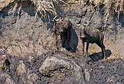 Two wildebeest have stranded on the muddy banks of Mara River (Kenya) while trying to complete the crossing.
