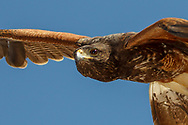 Harris's hawk in-flight portrait, emphasizing vision and the leading edge of her wings with the airfoil shape evident.  © 2011 David A. Ponton