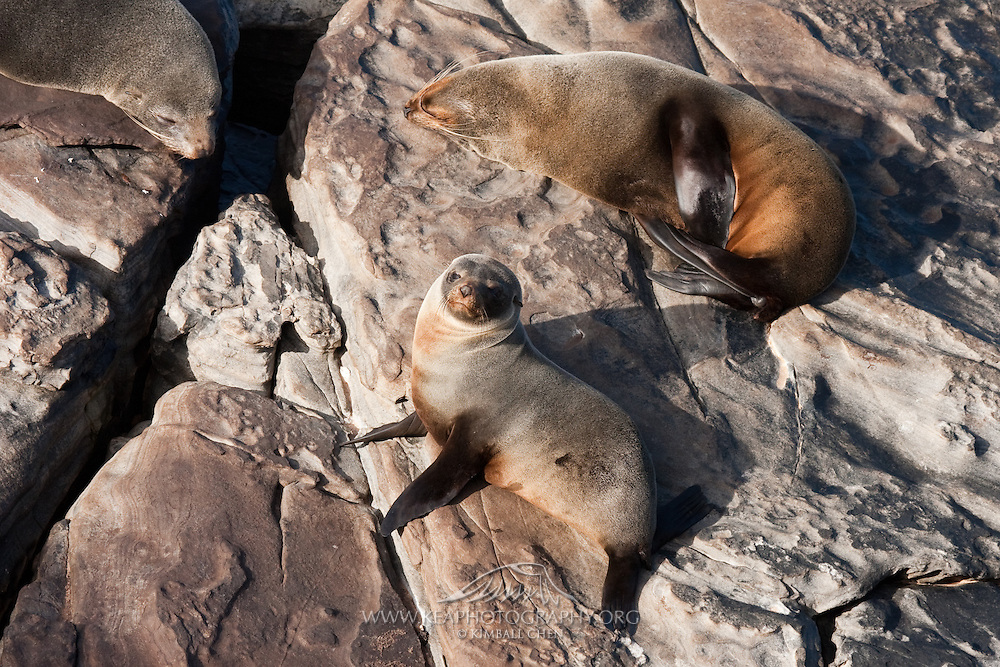 A pair of New Zealand Fur Seals soak up the sun on Stewart Island.