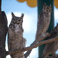 Three horned owls peer out of their enclosure at the Navajo Nation Museum in Window Rock Wednesday.