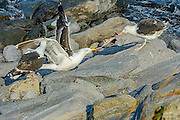 Great Black-back gulls fighting over Food