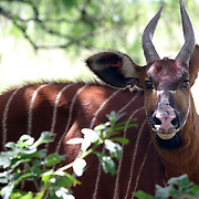 January 30, 2004 - A rare mountain bongo peers from behind a tree at the Mount Kenya Game Ranch in central Kenya. The small population of protected bongo currently living in Kenya were joined by 18 other bongos who have been returned to the Mount Kenya area in a major step to save the species form extinction. Photo by Evelyn Hockstein