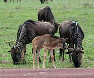 Gnu/Wildebeest - Nyumbu