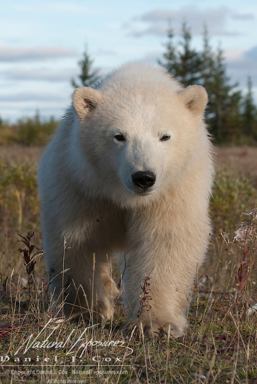 Polar Bear (Ursus maritimus) cub outside the fence of a hunting lodge. Hudson Bay, Manitoba, Canada