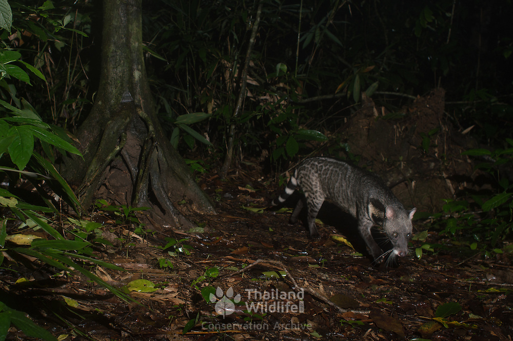 The large Indian civet (Viverra zibetha) is a civet native to South and Southeast Asia. Photo taken in Kaeng Krachan National Park, Thailand.