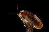 Peppered Cockroach (Archimandrita tesselata)<br /> BELIZE: Cayo District <br /> Ian Anderson's Caves Branch Lodge near Armenia<br /> 9-Aug-2015<br /> J.C. Abbott & K.K. Abbott