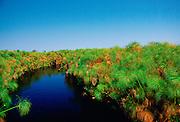 Papyrus growing in the Okavango Delta inBotswana, Africa