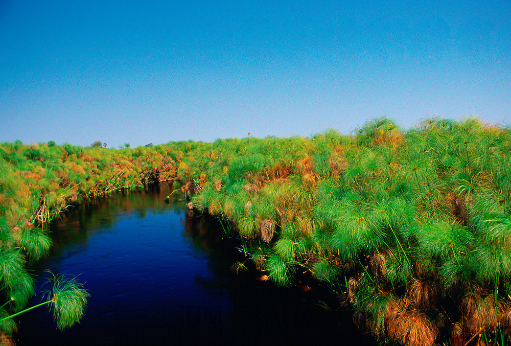 Papyrus growing in the Okavango Delta inBotswana, Africa