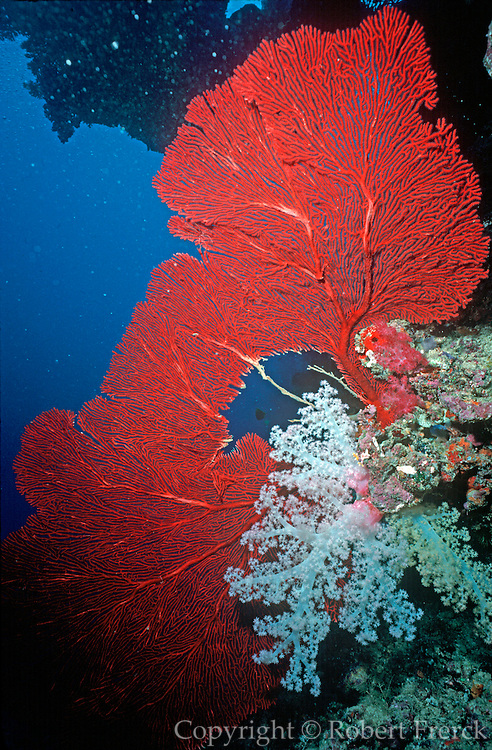 UNDERWATER MARINE LIFE WEST PACIFIC, Fiji Islands Coral Reef: sea fan, hard coral, soft coral Subergorgia sp.