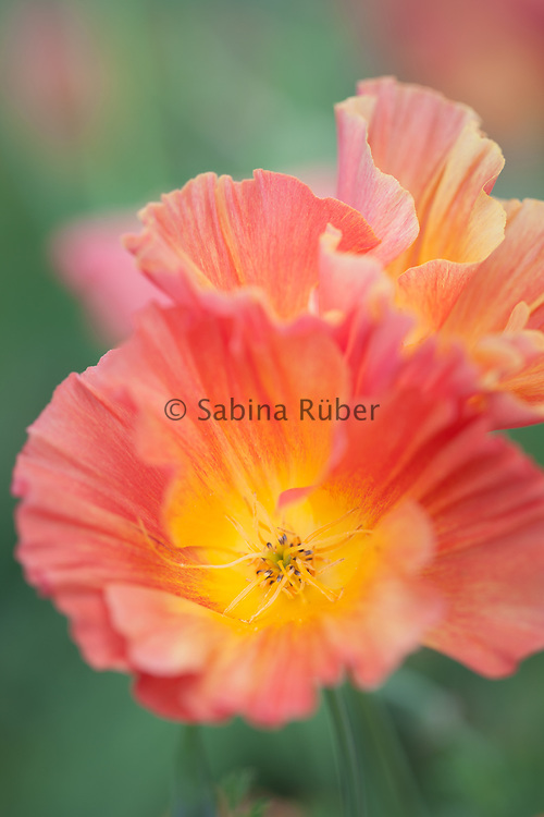 Eschscholzia californica 'Silk Thai Apricot' - California poppy