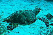 Green Sea Turtle, Chelonia mydas, Linnaeus 1758, Seven Mile Beach, Eden Rock, Grand Cayman