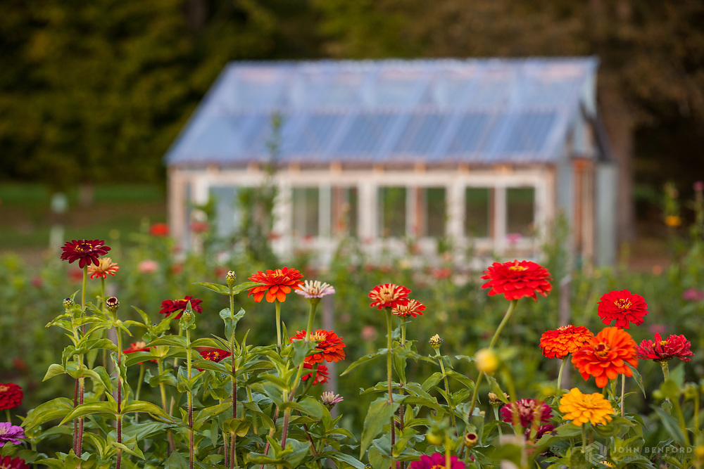 Colorful zinnias in a flower garden bed in front of a greenhouse.