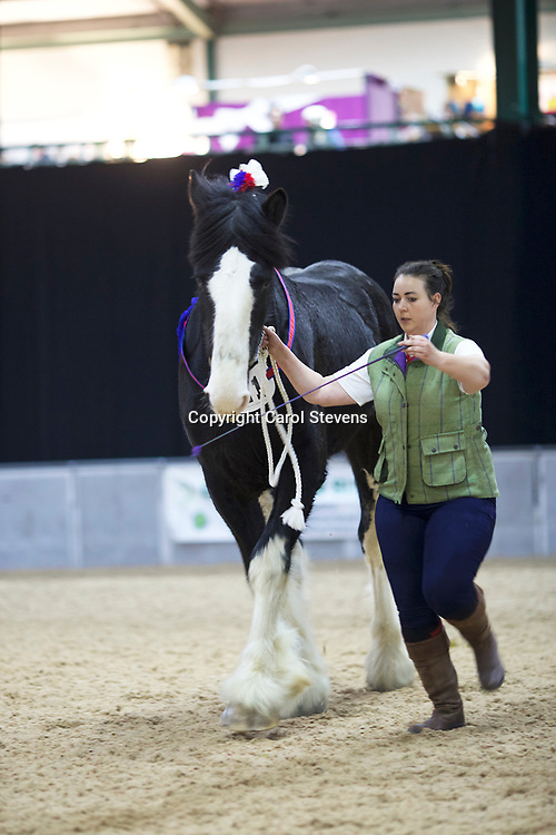 Shire Horse Society Spring Show 2017  Three Year Old Geldings