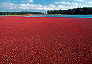 Cranberry Bog, Harwich, Massachusetts