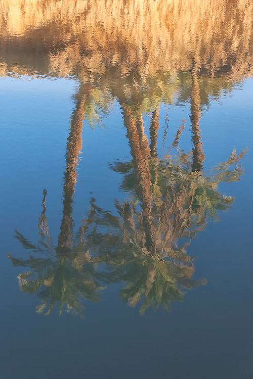 Reflections of date palms in a river.