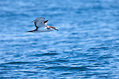 Buller's Shearwater Pictures - Photos