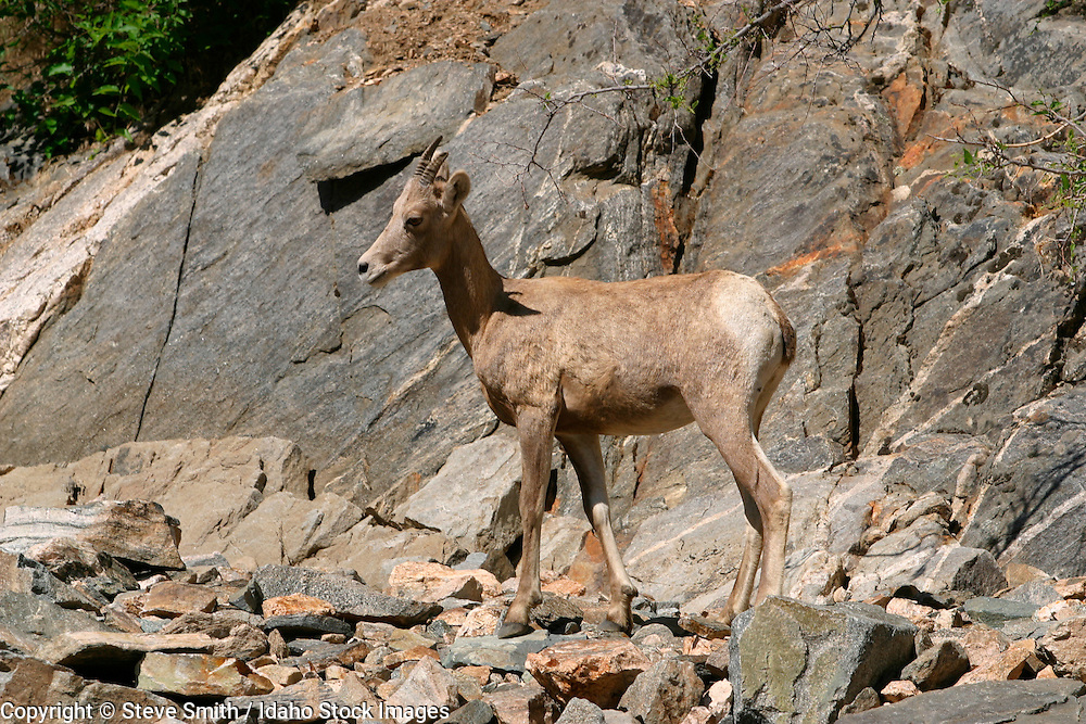 Young adult and baby mountain sheep standing on rocks along shores of Middle Fork of the Salmon River, ID, Frank Church Wilderness.