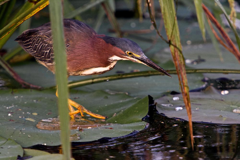 Green Heron Fishing on Lilly Pad