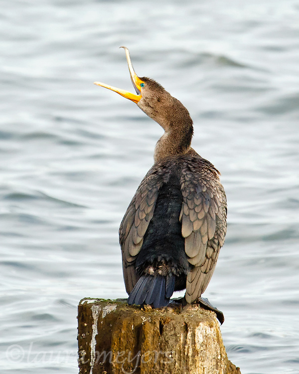 Double-crested Cormorant on post with open beak