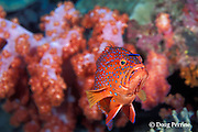 coral grouper, jewel grouper, coral trout, or coral cod; Cephalopholis miniata, being cleaned by juvenile bluestreak cleaner wrasse, Thailand, ( Indian Ocean )