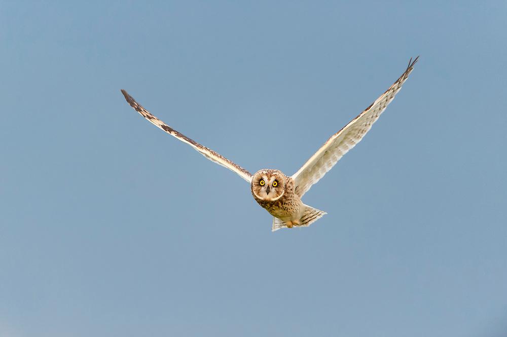 Flying short-eared owl, Western Montana