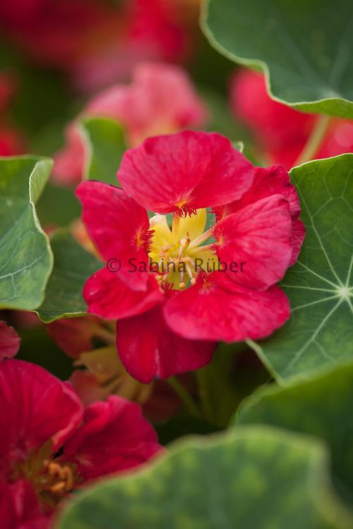 Tropaeolum minus 'Whirlybird Rose' - dwarf nasturtium