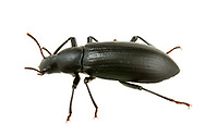False Mealworm Beetle (Alobates pensylvanica)<br /> United States: Alabama: Tuscaloosa Co.<br /> Tulip Tree Springs off Echola Rd.; Elrod<br /> 3-Jul-2017<br /> J.C. Abbott #2965