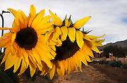 Sunflowers in Tucson, Arizona, USA.