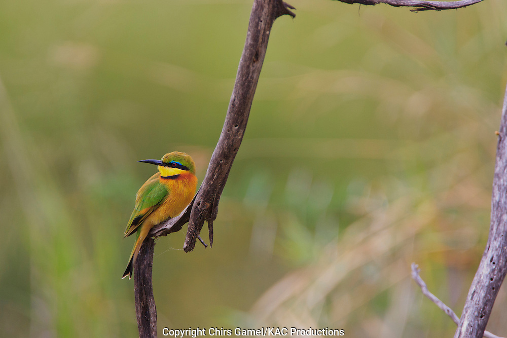 Little Bee-eater (Merops pusillus) perched on a branch, Serengeti national Park, Tanzania, Africa ; smallest African bee-eater; insectivore