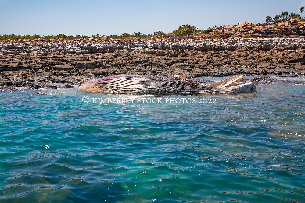 A Humpback whale decomposing over a period of time at Hall Point in Camden Sound on the Kimberley coast.