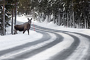 Moose crossing the road | Elg som krysser veien