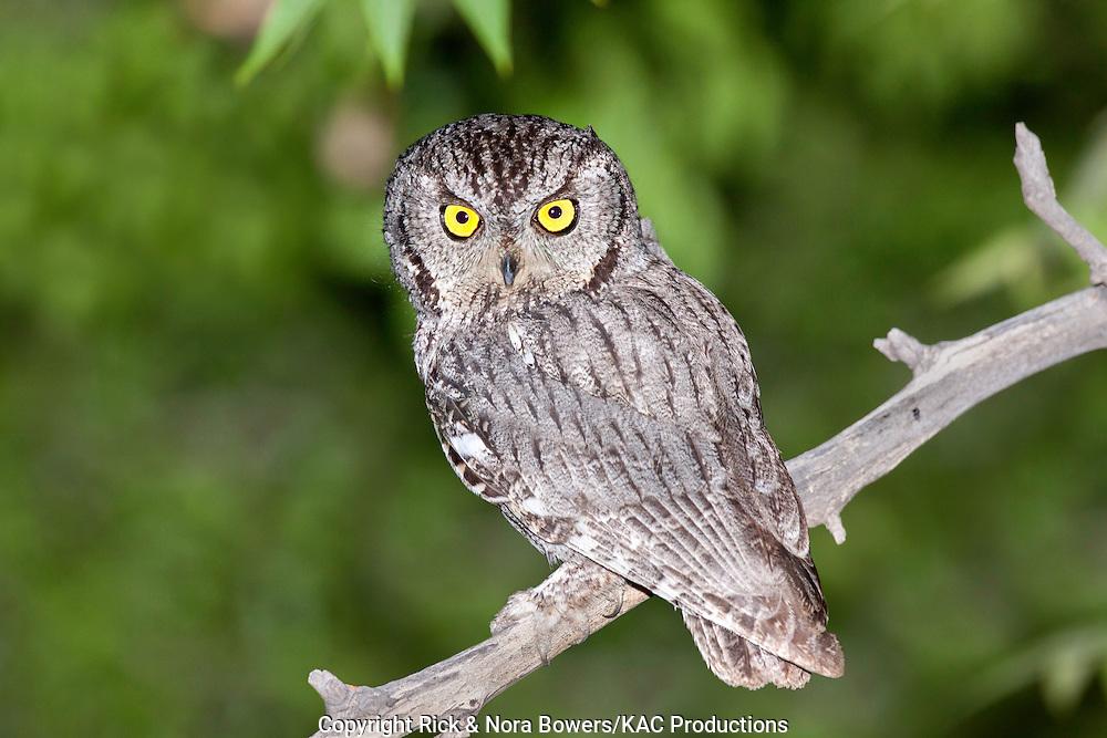 Western Screech-Owl <br /> Megascops kennikottii<br /> Tucson, Pima County, Arizona, United States<br /> 26 May       Adult     Strigidae
