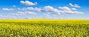 Canola crop under blue sky and cloud near Erin Vale, New South Wales, Australia. <br />
