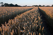 Late summer sunlight and a cornfield track in Suffolk, England.