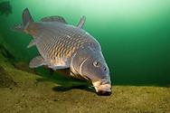 Common Carp<br /> <br /> Viktor Vrbovsky/Engbretson Underwater Photography