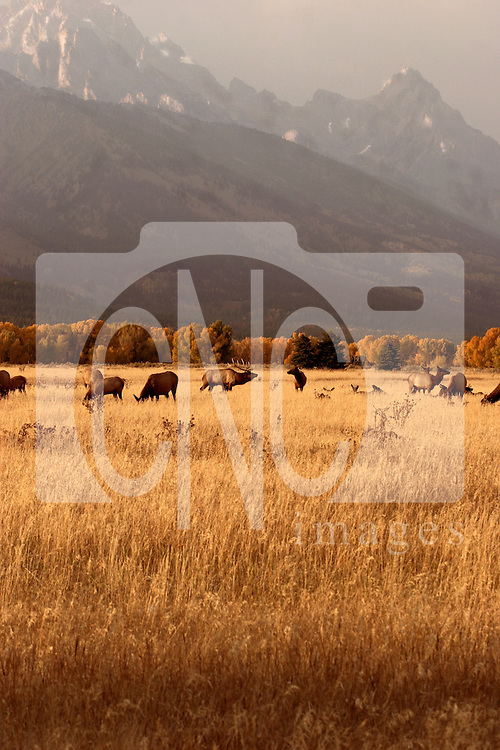 Grand Teton Mountains with Elk