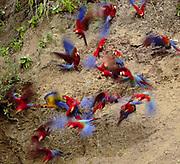 3 Species of Macaws on Clay Lick<br />Blue & Yellow, Scarlet and Red & Green<br />Ara  Ararauna / Ara Macao /  Ara Chloropter<br />on Serjali Clay Lick, Mishagua River.  PERU.  South America