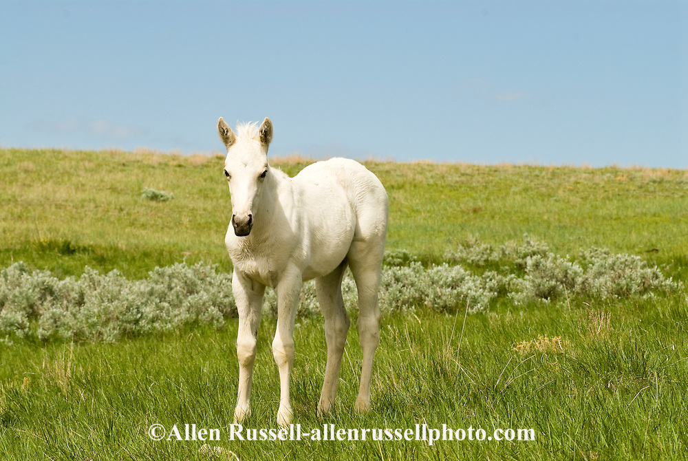 Quarter Horse foal<br /> PROPERTY RELEASED